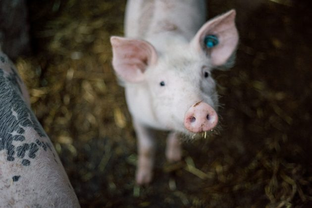 свинско месо, прасе, забавни факти